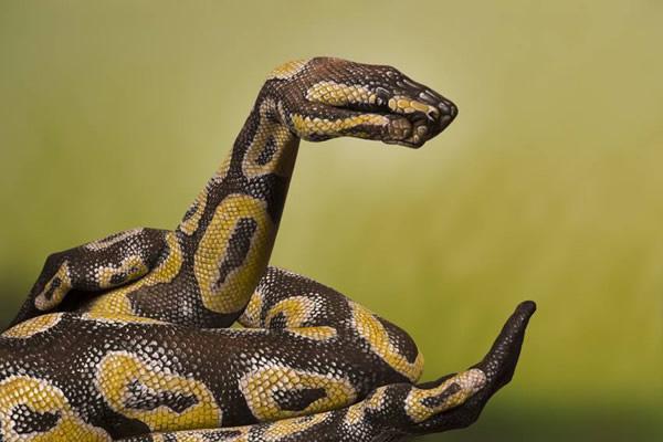 human-snake
